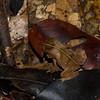 Rhinella sp. Atelopodinae,  Bufonidae, Anura<br /> 6890, Gite Moutouchi, Saint-Laurent du Maroni, Guyane francaise, 21 janvier 2017