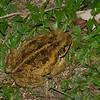 Rhinella marina femelle, Crapaud marin, Crapaud buffle, Cane toad, Atelopodinae, Anura<br /> 9752, Gite Moutouchi, Saint-Laurent du Maroni, Guyane francaise, 31 janvier 2017