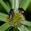 Trigona sp. Stingless Bee, Meliponini, Apidae<br /> 1319, Gite Moutouchi, Saint-Laurent du Maroni, Guyane francaise, 10 fevrier 2017
