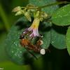 Trigona sp, Stingless Bee, Meliponini, Apidae<br /> 9599, Gite Moutouchi, Saint-Laurent du Maroni, Guyane francaise, 2  fevrier 2017