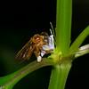 Trigona sp, Stingless Bee, Meliponini, Apinae, Apidae<br /> 7845, Gite Moutouchi, Saint-Laurent du Maroni, Guyane francaise, 25 janvier 2017