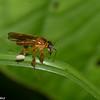 Trigona sp, Stingless Bee, Meliponini, Apidae<br /> 0302, Gite Moutouchi, Saint-Laurent du Maroni, Guyane francaise, 5 fevrier 2017