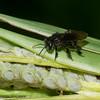 Trigona sp. Stingless Bee, Meliponini, Apidae<br /> 7666, Gite Moutouchi, Saint-Laurent du Maroni, Guyane francaise, 24 janvier 2017
