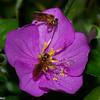 Trigona sp, Stingless Bee, Meliponini, Apidae<br /> 6775, Gite Moutouchi, Saint-Laurent du Maroni, Guyane francaise, 21 janvier 2017
