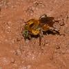 Xylocopa sp. Xylocopinae, Apidae<br /> 2001, Gite Moutouchi, Saint-Laurent du Maroni, Guyane francaise, 15 fevrier 2017