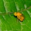 Conura sp. Chalcidinae, Chalcididae<br /> 8432, Gite Moutouchi, Saint-Laurent du Maroni, Guyane francaise, 28 janvier 2017