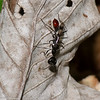 Trigonopsis sp. Podiina , Sceliphrini, Sphecidae<br /> 1802, Gite Moutouchi, Saint-Laurent du Maroni, Guyane francaise, 14 fevrier 2017