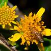 Megachilidae sp. <br /> 4574, Gite Moutouchi, Saint-Laurent du Maroni, Guyane francaise, 16 janvier 2017