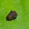 Tragopini sp.  Smiliinae, Membracidae<br /> 0630, Gite Moutouchi, Saint-Laurent du Maroni, Guyane francaise, 6 fevrier 2017