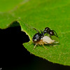Cyphonia clavata, Ant-mimicking treehopper, Ceresini, Smiliinae, Membracidae<br /> 8464, Gite Moutouchi, Saint-Laurent du Maroni, Guyane francaise, 28 janvier 2017