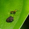 Tragopini sp. Smiliinae, Membracidae<br /> 0633, Gite Moutouchi, Saint-Laurent du Maroni, Guyane francaise, 6 fevrier 2017