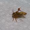 Heteronotus sp.  Spiny Treehopper, Heteronotini, Membracidae<br /> 6279, Gite Moutouchi, Saint-Laurent du Maroni, Guyane francaise, 19 janvier 2017