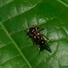 Heteronotus sp. Spiny Treehopper, Heteronotini, Membracidae<br /> 6806, Gite Moutouchi, Saint-Laurent du Maroni, Guyane francaise, 21 janvier 2017
