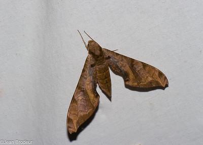 Papillons de Guyane francaise, Moths of French Guiana