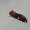 Hapigia curvilinea ,Hapigiinae, Notodontidae<br /> 5486, Gite Moutouchi, Saint-Laurent du Maroni, Guyane francaise, 17 janvier 2017