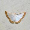 Leuciris fimbriaria, Mimosa Pearl, Ennominae, Geometridae<br /> 7644, Gite Moutouchi, Saint-Laurent du Maroni, Guyane francaise, 23 janvier 2017