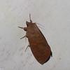Notodontidae sp.<br /> 6254, Gite Moutouchi, Saint-Laurent du Maroni, Guyane francaise, 19 janvier 2017