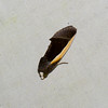 Gonodonta sp. Calpini, Calpinae, Erebidae<br /> 6737, Gite Moutouchi, Saint-Laurent du Maroni, Guyane francaise, 20 janvier 2017