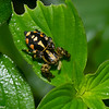 Phiale sp.  Freyina, Aelurillinae, Salticidae<br /> 0326, Gite Moutouchi, Saint-Laurent du Maroni, Guyane francaise, 5 fevrier 2017