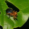 Phiale crocea, Freyina, Aelurillinae, Salticidae<br /> 0919, Gite Moutouchi, Saint-Laurent du Maroni, Guyane francaise, 8 fevrier 2017