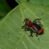 Phiale sp.  Freyina, Aelurillinae, Salticidae<br /> 4816, Gite Moutouchi, Saint-Laurent du Maroni, Guyane francaise, 16 janvier 2017