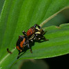 Phiale sp.  Freyina, Aelurillinae, Salticidae<br /> 5298, Gite Moutouchi, Saint-Laurent du Maroni, Guyane francaise, 17 janvier 2017