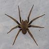 Ctenidae sp.  Wandering spiders<br /> 3772, Danta Corcovado Lodge, Puntarenas, Costa Rica, 21 mars 2015