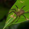 Ctenidae  sp.  Costa Rica<br /> 3910, Danta Corcovado Lodge, Puntarenas, Costa Rica, 22 mars 2015