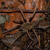 Ancylometes sp. Ctenidae<br /> 3903, Danta Corcovado Lodge, Puntarenas, Costa Rica, 22 mars 2015