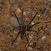 Ctenidae sp. <br /> 3929, Danta Corcovado Lodge, Puntarenas, Costa Rica, 22 mars 2015