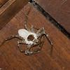 Araignée parasitée par un champignon<br /> 2720, Rancho Naturalista, Costa Rica, 14 mars 2015