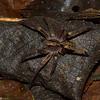 Ctenidae sp. <br /> 3902, Danta Corcovado Lodge, Puntarenas, Costa Rica, 22 mars 2015