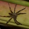 Cupiennius  sp. Ctenidae, Wandering spiders <br /> 3335, Las Cruces Biological Station, Puntarenas, Costa Rica,18 mars 2015