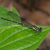 Argia difficilis femelle, Coenagrionidae<br /> 3730, Danta Corcovado Lodge, Puntarenas, Costa Rica, 21 mars 2015