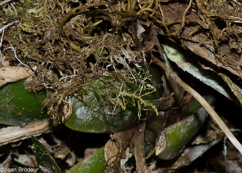 Trychopelpus lacinatus,  Diapheromeridae, Phasmatodea, Moss Mimic Walkingstick <br /> 2573, Rancho Naturalista, Costa Rica, 14 mars 2015