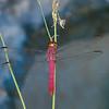 Orthemis discolor male ,  Libellulidae,  Carmine skimmer<br /> 3518, Las Cruces Biological Station, Puntarenas, Costa Rica,20 mars 2015