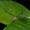 Anatya guttata femelle , Libellulidae<br /> 3643, Danta Corcovado Lodge, Puntarenas, Costa Rica, 21 mars 2015