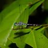 Anatya guttata male , Libellulidae<br /> 3859, Danta Corcovado Lodge, Puntarenas, Costa Rica, 22 mars 2015