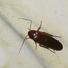Ectobiinae sp.  Blatte , Cockroaches<br /> 2722, Rancho Naturalista, Costa Rica, 14 mars 2015