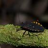 Sephina bicornis, Spartocerini, Coreidae,  Leaf-footed Bug<br /> 2653, Rancho Naturalista, Costa Rica, 14 mars 2015