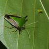 Edessa sp. Edessinae, Pentatomidae <br /> 2015, Danta Corcovado Lodge, Puntarenas, Costa Rica, 21 mars 2015