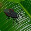 Coreidae sp.<br /> 2681, Rancho Naturalista, Costa Rica, 14 mars 2015