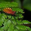 Spartocera gigantea,  Coreidae, Leaf-footed Bugs <br /> 2873, Tapanti National Park, Costa Rica, 15 mars 2015