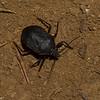 Ochlerini sp. Discocephalinae, Pentatomidae, Punaise a bouclier du Costa Rica<br /> 2946, Rancho Naturalista, Costa Rica, 16 mars 2015
