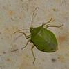 Chlorocoris distinctus, Pentatomidae<br /> 3061, Rancho Naturalista Lodge, Costa Rica, 16 mars 2015