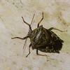 Edessa sp. Pentatomidae<br /> 2971, Rancho Naturalista, Costa Rica, 16 mars 2015