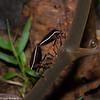 Brachystethus sp. Pentatomidae,  <br /> 2645.1 ,Rancho Naturalista, Costa Rica, 14 mars 2015