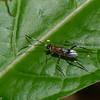 Ichneumonidae sp. Costa Rica<br /> 2609, Rancho Naturalista, Costa Rica, 14 mars 2015