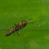 Pseudomyrmex sp. Pseudomyrmecinae, Formicidae<br /> 3753, Danta Corcovado Lodge, Puntarenas, Costa Rica, 21 mars 2015