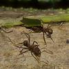 Atta sp. Myrmicinae, Formicidae<br /> 2910, Tapanti National Park, Costa Rica, 15 mars 2015
